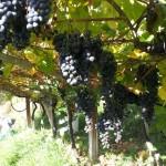 Wein_Trauben
